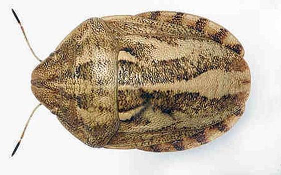 Клоп вредная черепашка – Eurigaster intergriceps фото