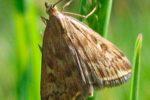 Луговой мотылек - Margaritia (Pyrausta ) sticticallis фото
