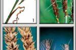 Возбудители головневых болезней озимой пшеницы фото 1. Стеблевая головня фото 2. Пыльная головня фото 3. Твердая головня фото 4. Карликовая головня фото