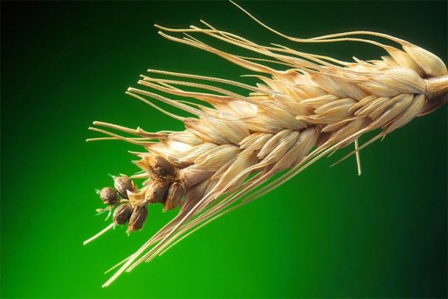 Карликовая головня пшеницы ru Карликовая головня пшеницы