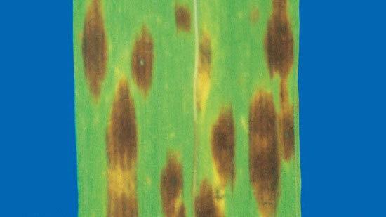 Обычная (Фузариозно-гельминтоспориозная) корневая гниль Bipolaris sorokiniana фото