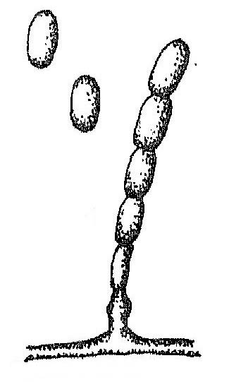 Конидиеносец с конидиями фот