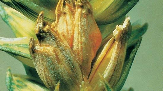 Пораженный колосок озимой пшеницы. Фузариоз колоса Fusarium graminearum - фото