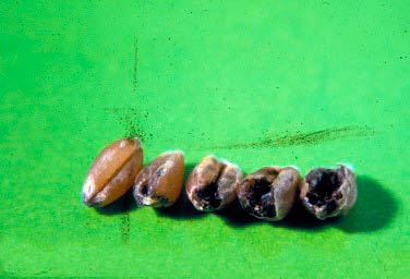 Пораженное зерно озимой пшеницы Индейской головней - Neovossia indica  фото