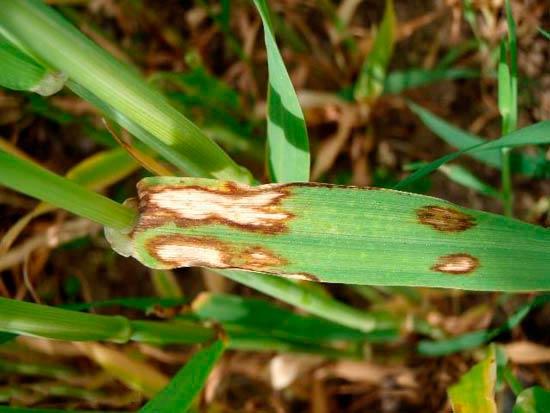 Ринхоспориоз ячменя – Rhynchosporium graminicola (secalis)