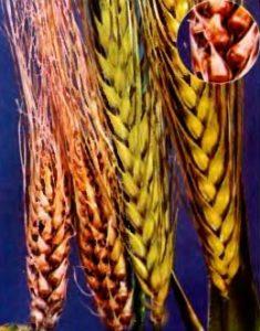 Твердая (каменная) головня ячменя – Ustilago hordei
