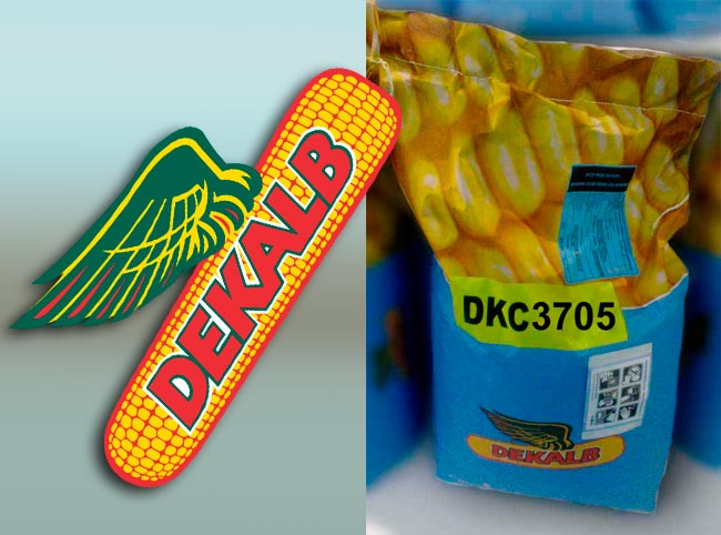 Семена кукурузы Декалб (Монсанто) ДКС 3705