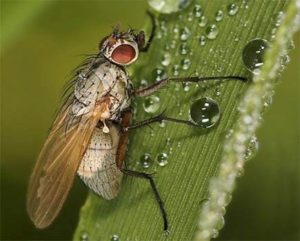 Озимая муха – Leptohylemia (Delia) coarctata фото