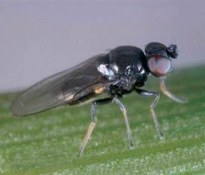 Ячменная шведская муха – Oscinella pusilla фото