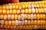 Розовая плесень початков кукурузы фото