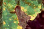 Phomopsis helianthi (2)
