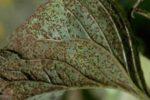 Ржавчина подсолнечника – Puccinia helianthi фото