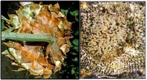 Сухая гниль корзинок подсолнечника – Rhizopus nigricans фото