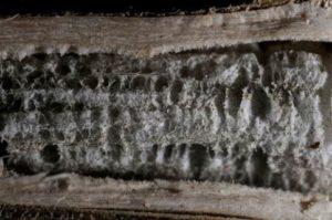 Угольная гниль стебля (пепельная гниль) подсолнечника  - Sclerotium bataticola (Macrophomina phaseolina)