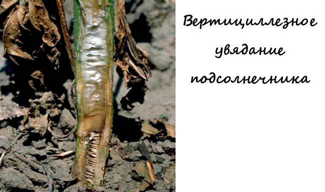 Вертицилез (вертицилезное увядание) - Verticilium dahliae фото