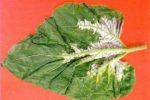 Ложная мучнистая роса подсолнечника - plasmopara helianthi фото