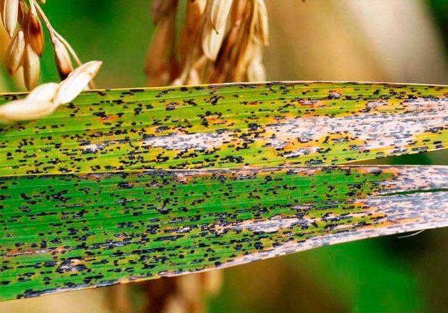 Листовая головня риса – Entyloma oryzae