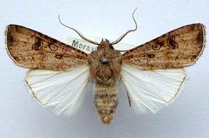 Озимая совка - Scotia segetum (agrotis segetum) фото