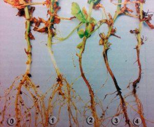 Фузариозная корневая гниль гороха