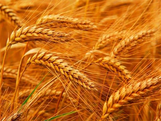 Биологические особенности озимой пшеницы ru Озимая пшеница