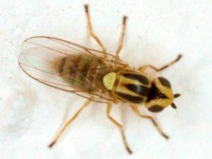 Зеленоглазка – Chlorops pumilionis