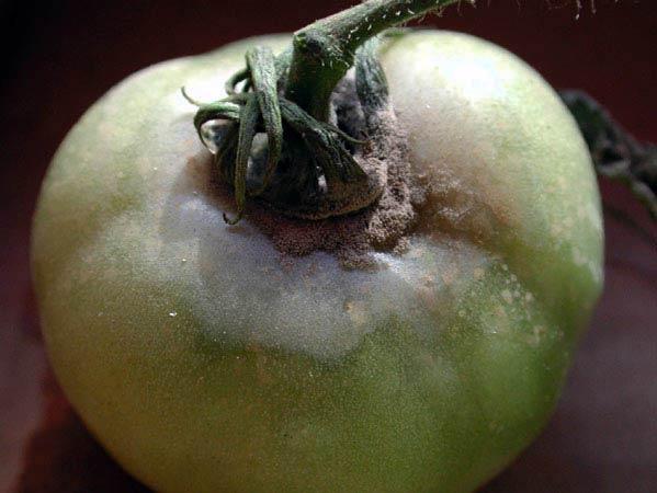 Серая гниль томата - Botrytis cinerea фото