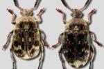 Гороховый зерноед – Bruchus pisorum фото