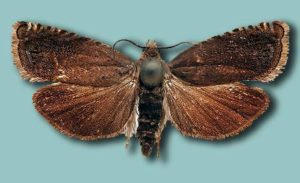 Гороховая плодожерка – Laspeyresia nigricana фото