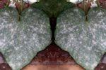 Мучнистая роса огурца - Oidium erysiphoides