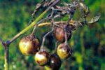 Фитофтороз томата - Phytophthora infestans фото