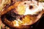 Альтернариоз капусты - Alternaria brassicae