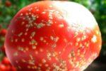 Бактериальный рак томата Clavibacter michiganensis фото