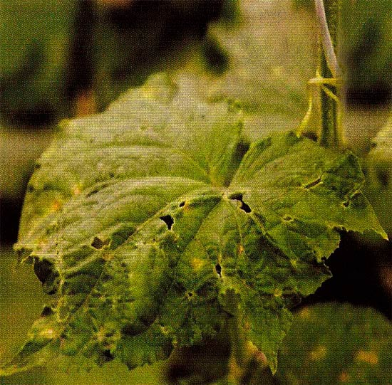 Рис. 1. Угловатая пятнистость листьев огурца