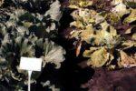 Фузариозное увядание капусты фото