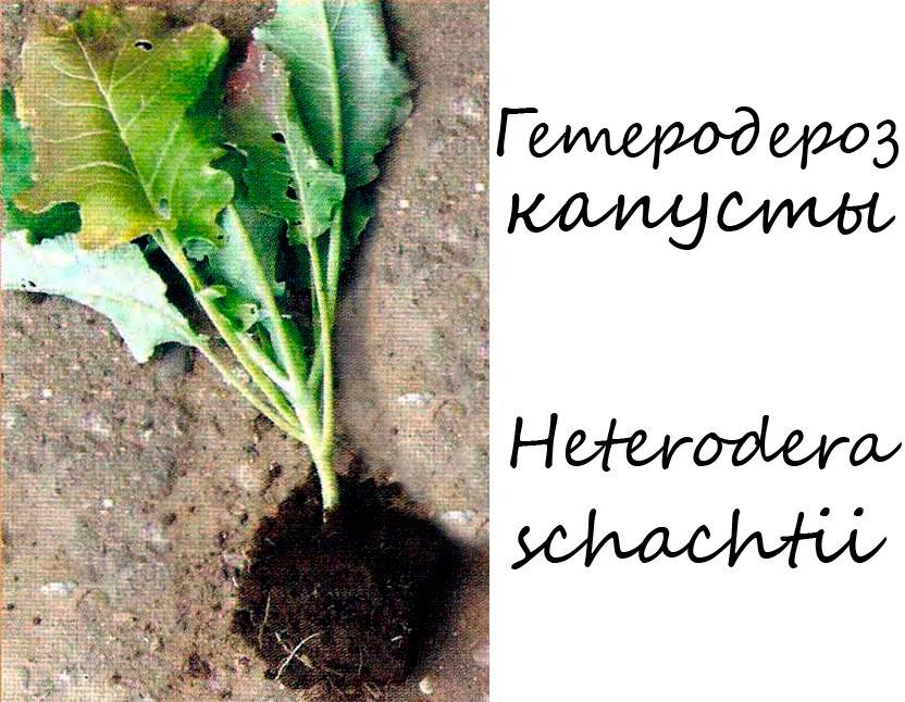 Гетеродероз капусты - Heterodera schachtii Schmidt
