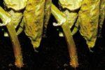 Рис. 1. Корневая гниль сеянцев огурца фото