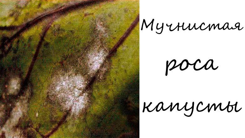 Мучнистая роса капусты