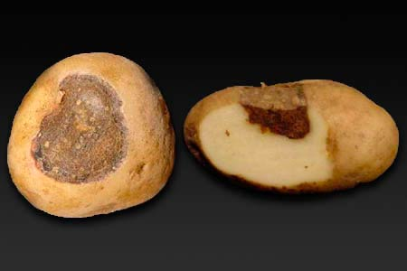 Альтернариоз картофеля - Alternaria solani