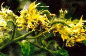 Рис. 2. Аспермия томата Tomato aspermy cucumovirus фото