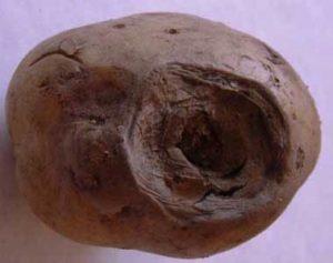 Фомоз картофеля - Phoma exiqua фото