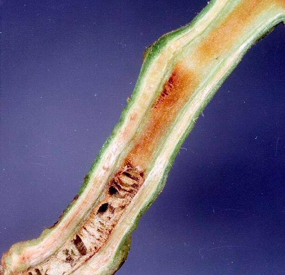 Корневой рак томата