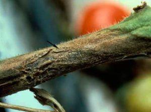 Рак стеблей томата - Ascochyta lycopersici