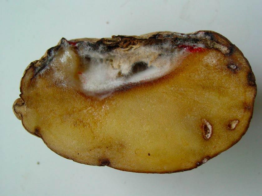 Сухая гниль клубней картофеля фото