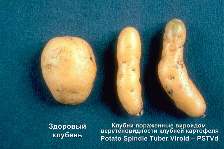 Готика клубней картофеля ru Готика клубней картофеля фото