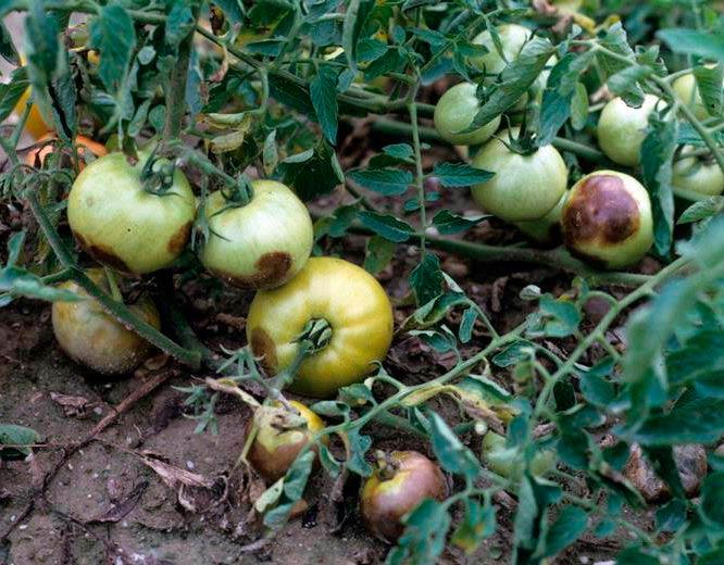 Южный фитофтороз томата - Phytophthora nicotianae фото