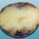 Поврежденный картофель стеблевой нематодой - Ditylenchiis destructor фото