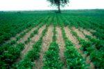 Очаг развития картофельной золотистой нематоды фото