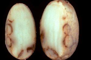 Некроз клубней картофеля - Tobacco rattle virus (TRV)