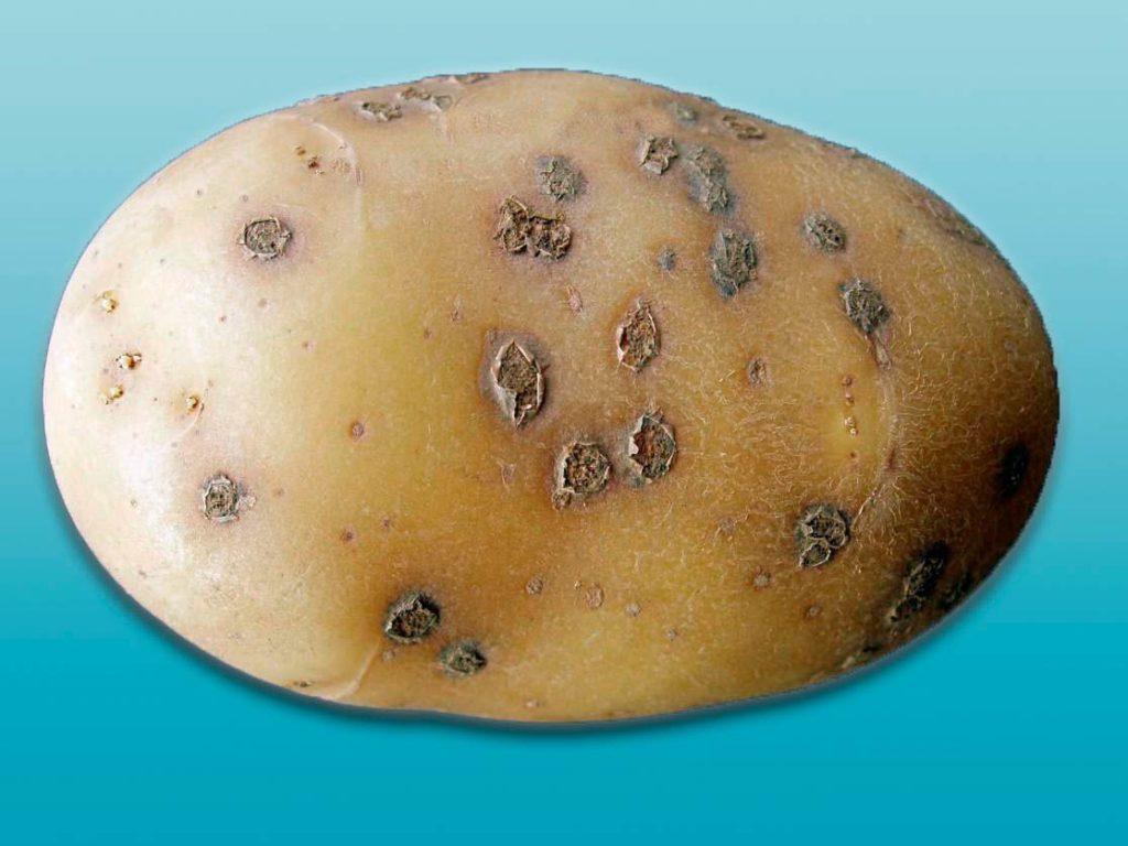 Порошистая парша картофеля - Spongospora subterranea фото