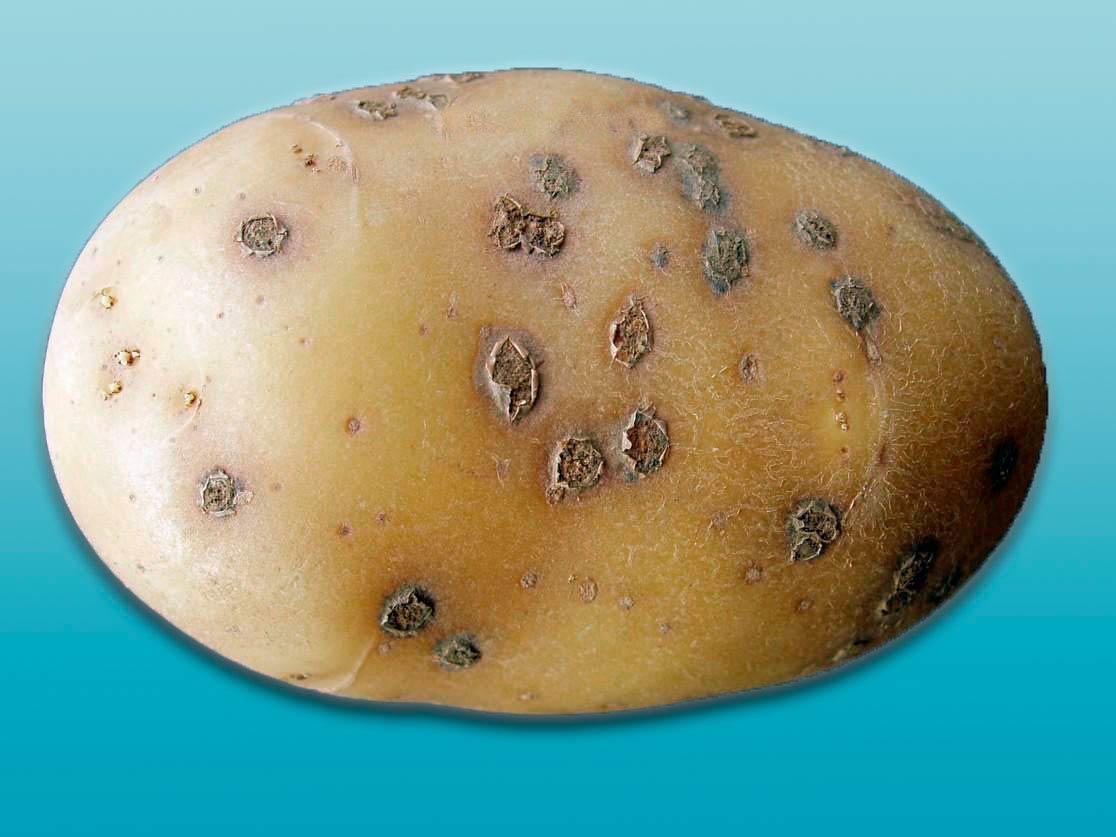Порошистая парша картофеля ru Порошистая парша картофеля spongospora subterranea фото
